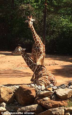 Zuberi is pictured with another giraffe from his herd