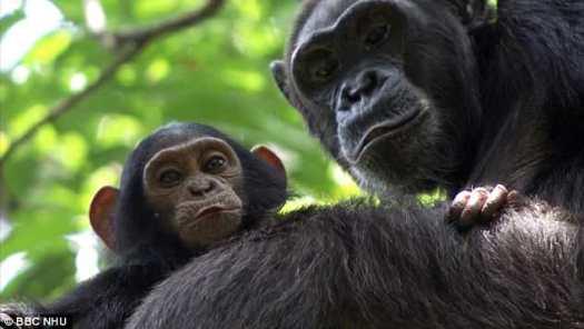 41 nidos de chimpancés fueron examinados por investigadores estadounidenses en el salvaje Valle de Issa en Tanzania