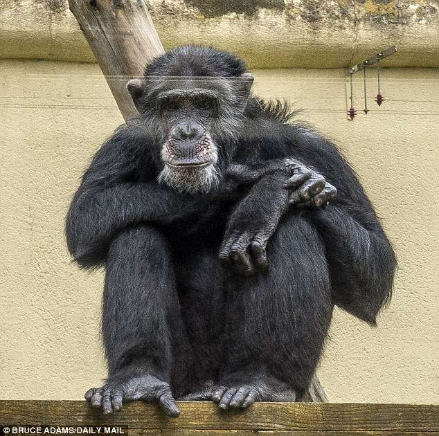 Many chimpanzees were found to keep their beds cleaner than most human teenagers would
