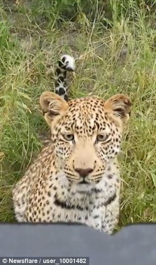 The footage, captured in Okavango Delta in northern Botswana, shows the leopard approaching a jeep