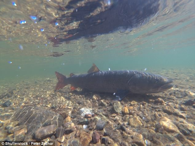 A Siberian giant trout can grow up to two metres (6.6ft) long in deep waters (file photo)
