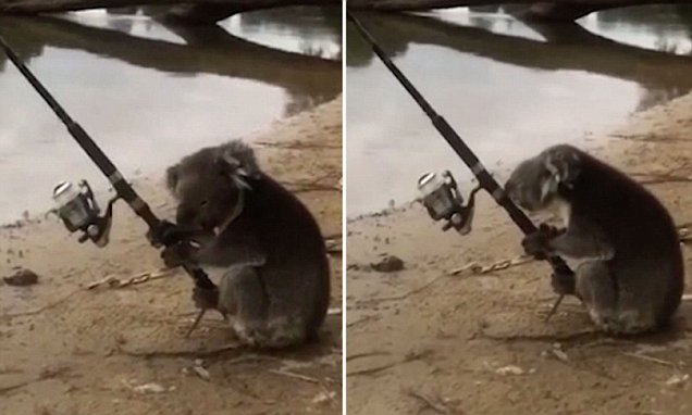 Koala Mans A Fishing Rod On The Banks Of A River In Victoria Daily Mail Online