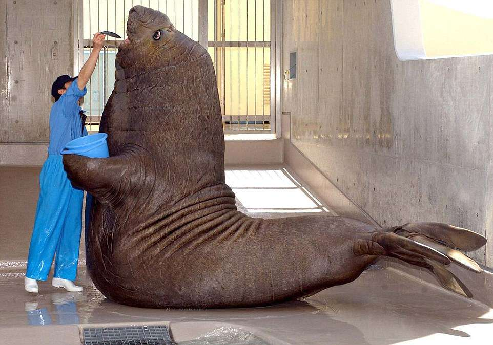 An elephant seal gears up for feeding time at a Japanese Zoo, even holding his own bucket. The bulls can grow to be up to 16ft long and weigh over 6,000lbs. There are two types of elephant seal - the southern elephant seal and the smaller northern version. It is named after the males' snout, which resembles the trunk of an elephant. They can hold their breath longer than any other cetacean animal, staying under water without air for up to two hours