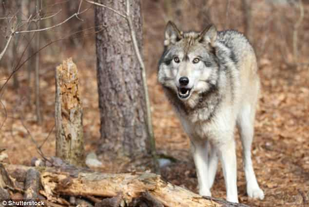 UK experts said the animal was most likely a cross between a wolf and a coyote or dog, and may even be part of an elaborate prank. Pictured is a North American gray wolf