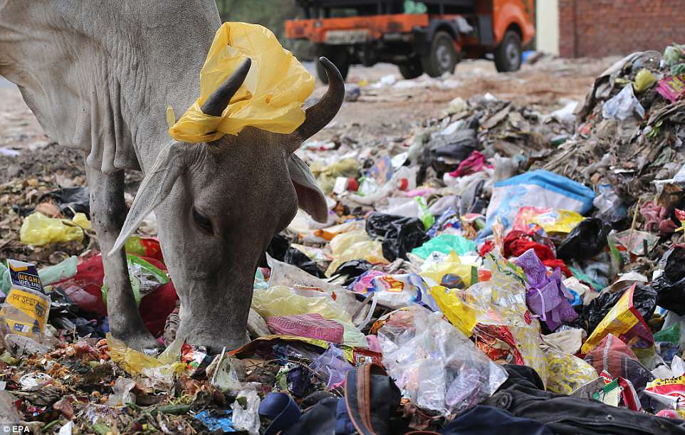 A plastic bag hangs on the horns of a cow as it sifts through rubbish for food ahead of World Environment Day in New Delhi