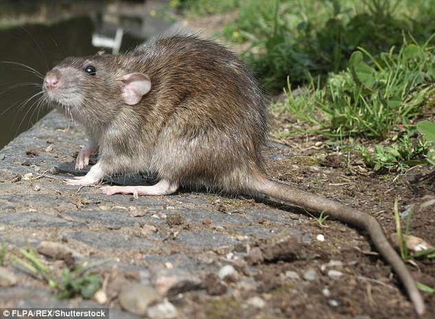 Rats, stoats and possums will be the target of a new cull in New Zealand (stock image)