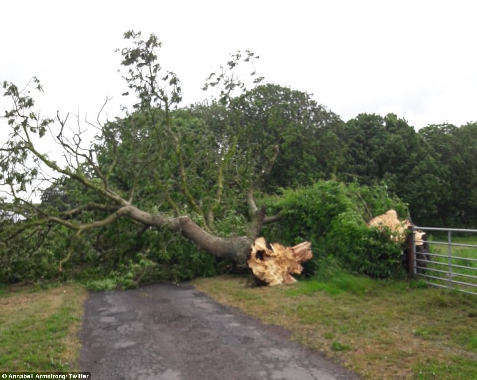 A huge tree has also fallen at Ash Tree Field on the Solway Coast in northern Cumbria during Storm Hector this morning
