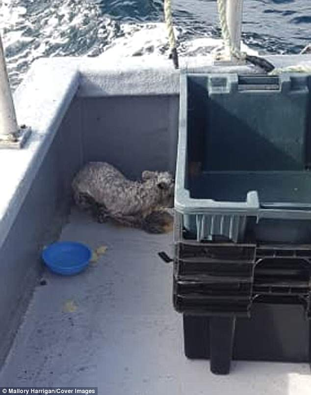 The soaked, cold animal cowering on the boat. Mallory Harrigan said: 'Cliff says he thinks he got there to check out a bit of meat on the ice and it broke apart, sending him to sea'