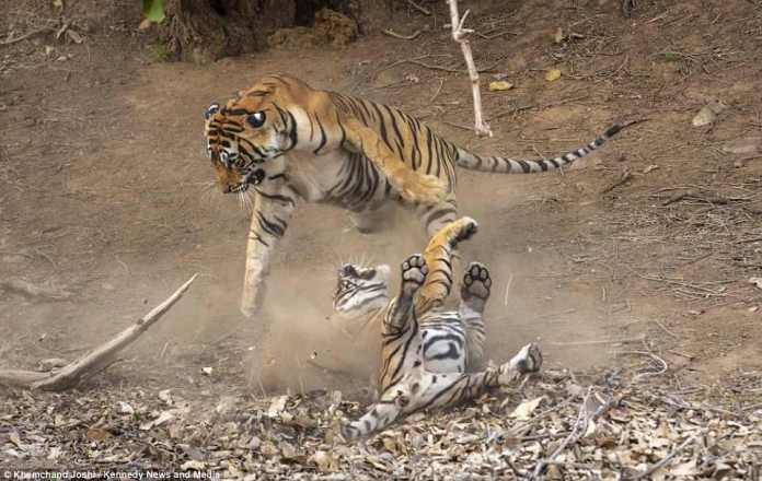 Khemchand was on safari in Ranthambore National Park in Rajasthan, India, when he snapped the tigers coming to blows