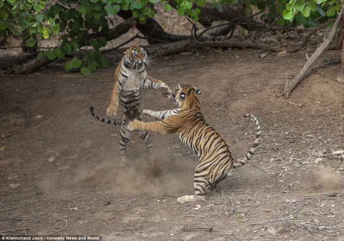 Squaring up: The fight could have been sparked by the male being at an age to seek a mate. The younger female, at just 22 months, could have been hoping to fend him off from her domain