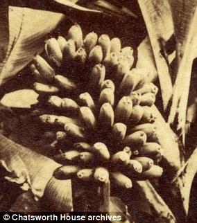 Laut Folklore, dem ersten Kopfgärtner von Chatsworth, wurde Joseph Paxton inspiriert, eine Banane anzubauen, die er in einem Schlafzimmer in Chatsworth auf chinesischer Tapete dargestellt sah. 1835 züchtete er erfolgreich Bananen, nachdem er eine von Mauritius erhalten hatte
