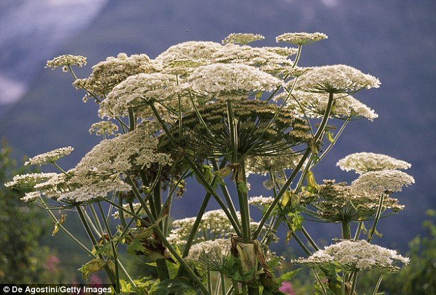 Giant hogweed is an incredibly toxic plant that can cause blindness, burns and blistering with just one touch