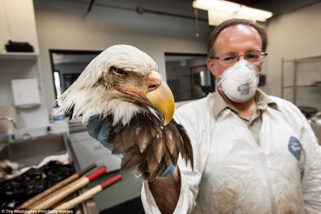 The repository is home to 1.3million items including this bald eagle head that was shipped from the Washington DC area