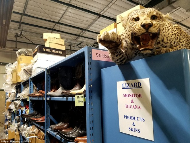 Boots not made for walking: The 16-square-foot facility has shelves lined with boots made of illegal snakes and animal skin