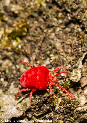 Chiggers – a type of mite – are tiny and bite by injecting an enzyme to harden the skin then inserting a feeding tube