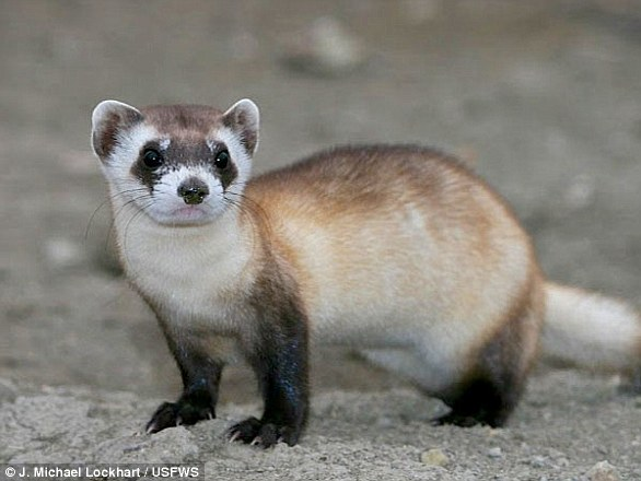 Black-footed ferrets once thrived across mid-continent North America, from southern Canada to northern Mexico