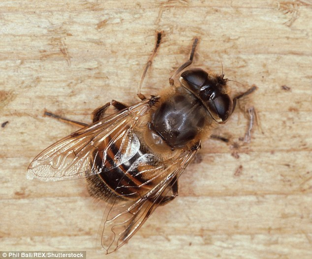 The rat-tailed maggot is the immature stage of a drone fly (pictured), which looks like a honey bee