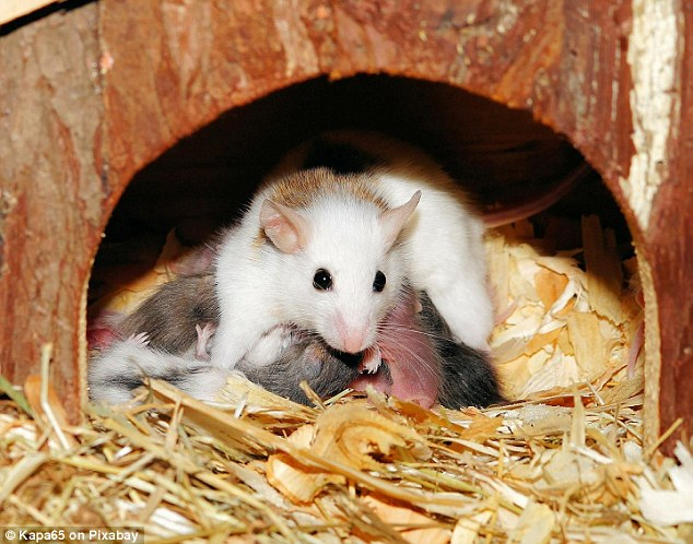 The placenta transports nutrients to the growing fetus during pregnancy and gives off hormonal signals to establish and maintain a successful pregnancy. Researchers carried out their work on mice (stock image)