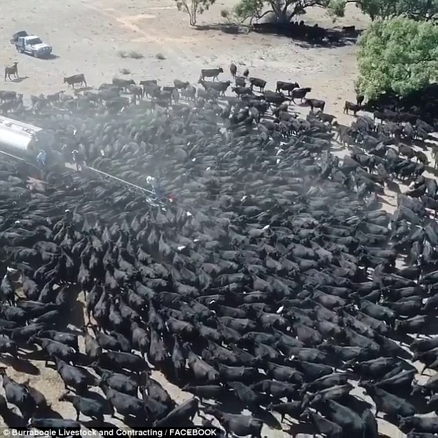 Amber Lea, who uploaded the footage, said her 1300 cattle would not be fed unless she drives over an hour to collect water