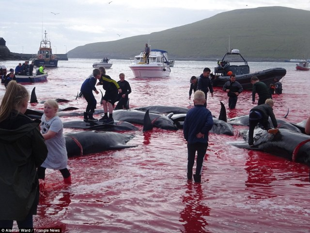 Learning early: Both adults and children take part in the slaughtering of the whale podin village of Sandavágur on Vágar