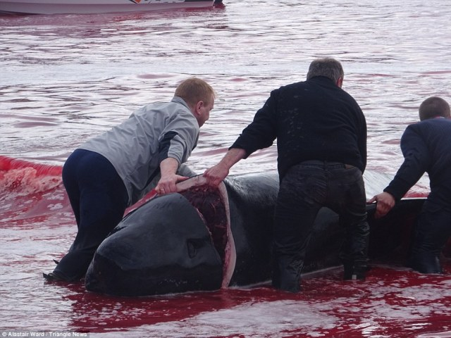 Butchers: The carcass of a whale is dragged through the water before it is cut up on land by the locals