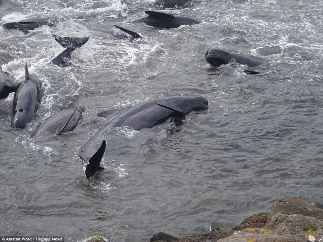 Hunted: The whales have been driven into the shallows where locals then jump in and kill them using a 'spinal lance'