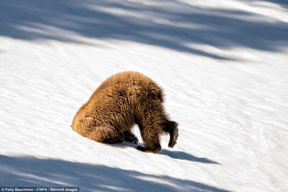Burried his head: A grizzly bear does its best ostrich impression with its head stuck in the snow