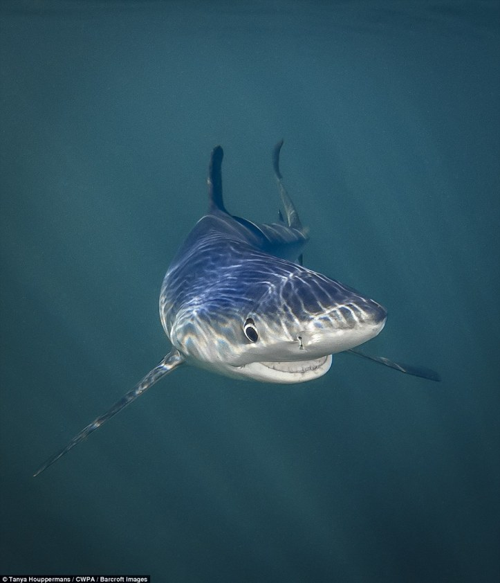 Let me take a selfie: A self-conscious blue shark smiles to the camera to strike the perfect pose in the deep blue sea