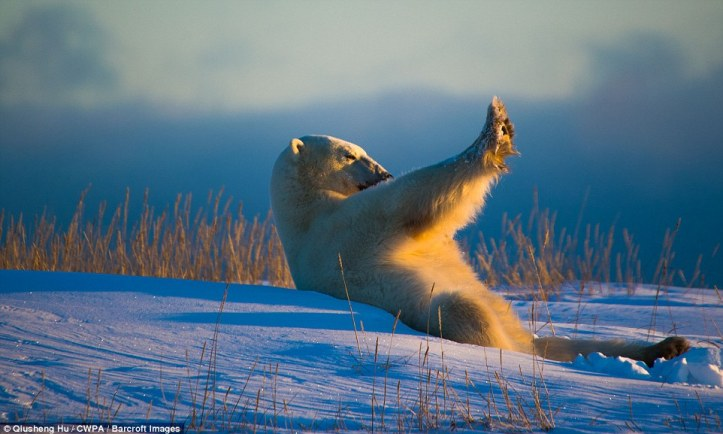 Where are my shades: A polar bear that badly needs sunglasses shades itself from the sun