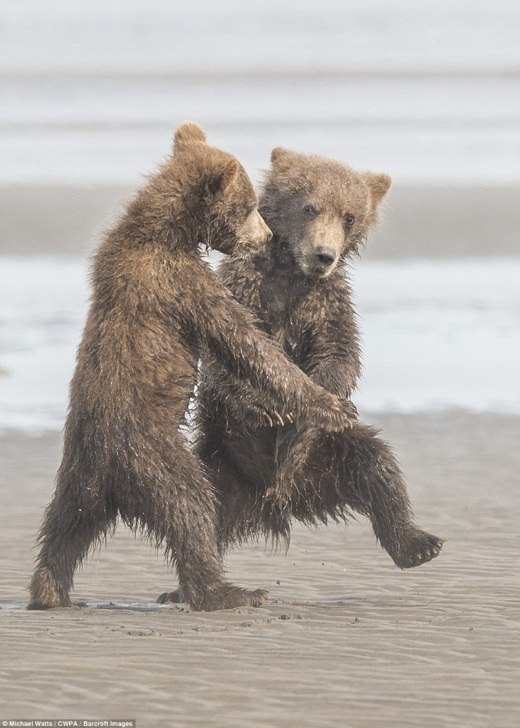 Waltzing: Two grizzly bear cubs appear to dance as they shimmy across the sand
