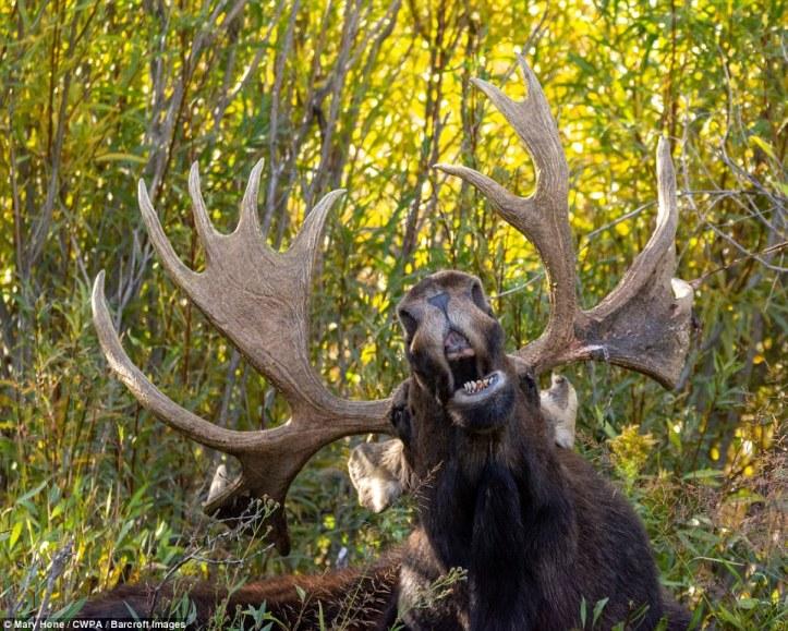Gurning: A cheeky moose makes an unusual face andgurns at the camera