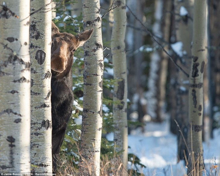 Hide and seek: A female moose peers from behind a tree in a snowy forest
