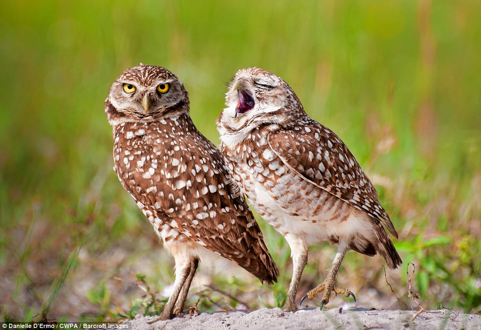 Tired: An owl yawns while its friend looks on with steely-eyed determination