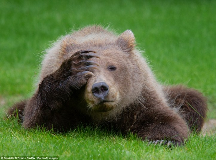 I can't watch: A grizzly bear having a bad day face palms