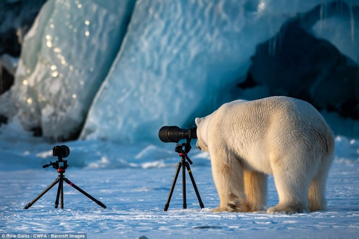 David Bear-ley: A polar bear looks through a camera lens to size up the best angle for a shot in a snowy backdrop