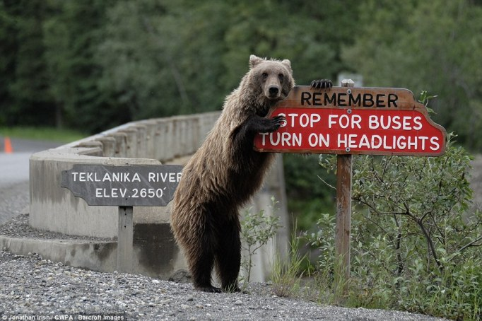 Warning: A grizzly bear holds onto a sign warning cars to stop for buses near the Teklanika River in the US state of Alaska