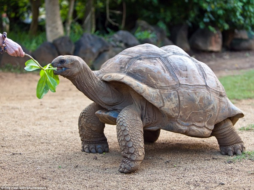 The biologists highlight that giant tortoises were once widespread, but they suffered drastically from poaching and over-exploitation, with the gentle giants slaughtered for their eggs, meat, skin and shells