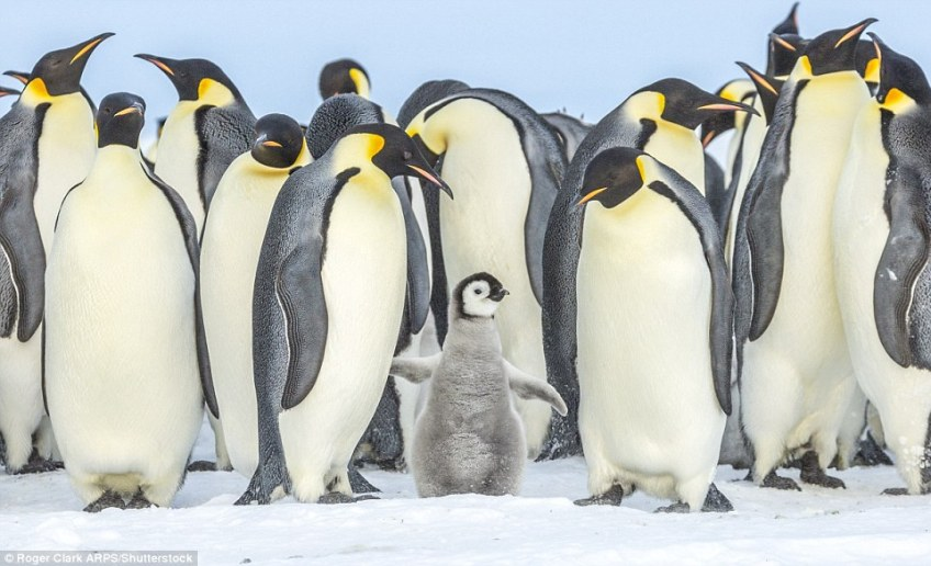 To catch glimpse of the magnificent emperor penguin, travellers must journey to the frozen wilds of Antarctica