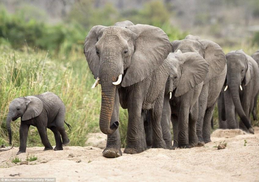 While elephant populations in east and south Africa have apparently become fragmented due to human intervention, Botswana's Chobe National Park is highlighted for having the largest remaining group