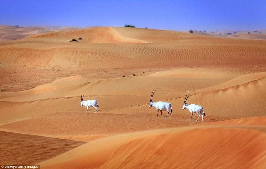Three Arabian oryx traverse the golden sands  in the Desert Conservation Reserve near Dubai. The white antelope is famed for being the origin of unicorn myths, with them sometimes only showing a single horn when viewed from the side