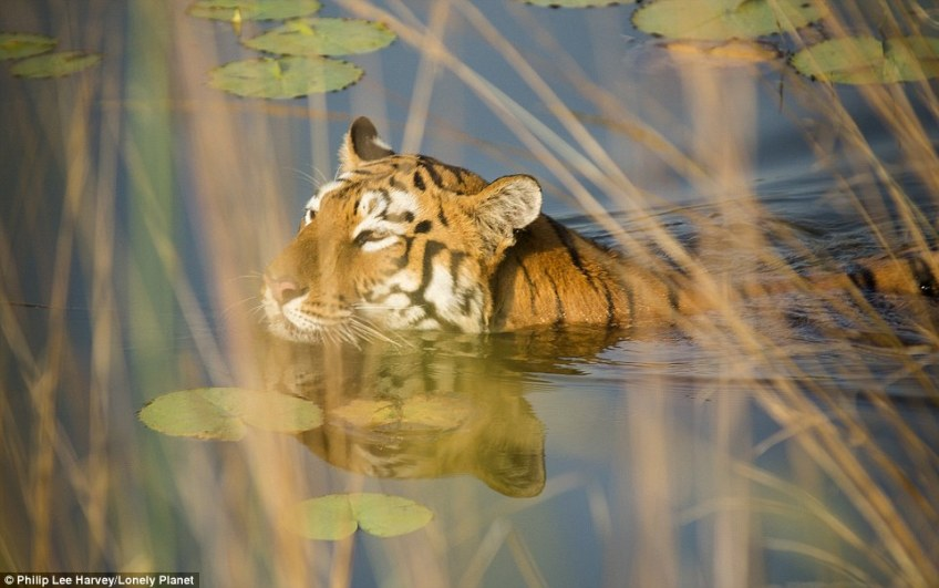 For the best chance of seeing a Bengal tiger, the Lonely Planet experts direct travellers to central India and Rajasthan