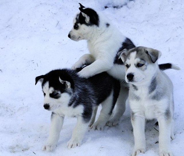 Six Week Old Purebred Siberian Husky Puppies In Snow At Bright Angel Park Cowichan Station