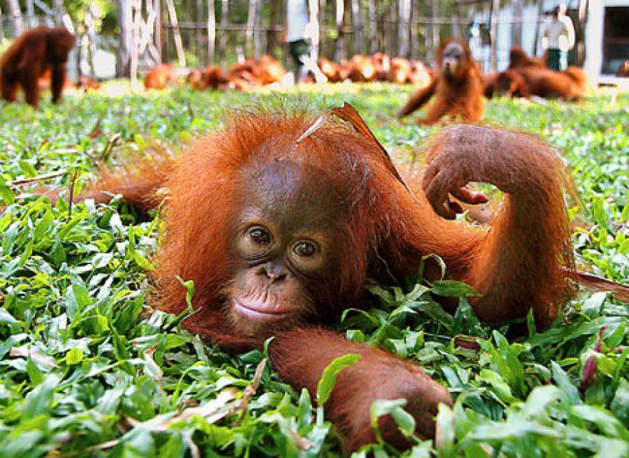 baby orang-utan in a Borneo rehab centre