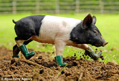 pig in muddy wellingtons