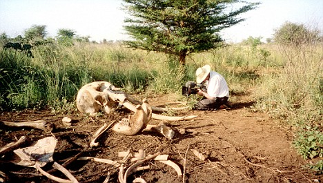 Bones of a dead African elephant caught up in the Ivory Wars [from the BBC2 series called Ivory Wars]