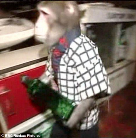 Pictured The amazing monkey waiters that serve tables in