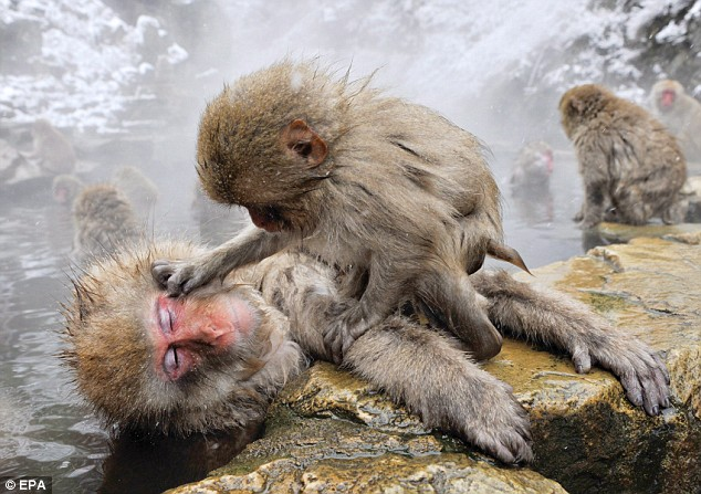 A young monkey plays with one of its elders in the hot spring