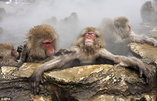 A Japanese monkey looks extremely relaxed in a hot spring in the ski resort town of Yamanouchi