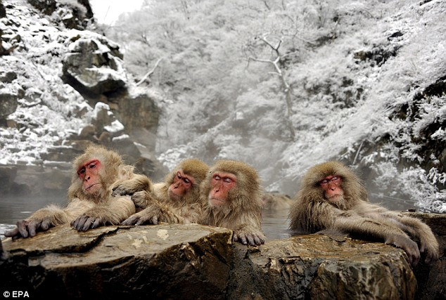 The monkeys in the hot spring in snow-covered surroundings
