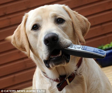 Labrador Bailey recently dialed 999 on his owners' phone, sending police to his home after they heard the chaos as his owners tried to retrieve it